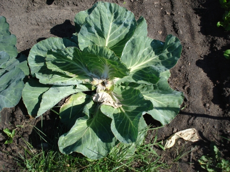 "First cabbage harvested from The Soul Patch, July 5, 2010. The stalk is cut with an ""X"" in order to allow four mini cabbages to grow."